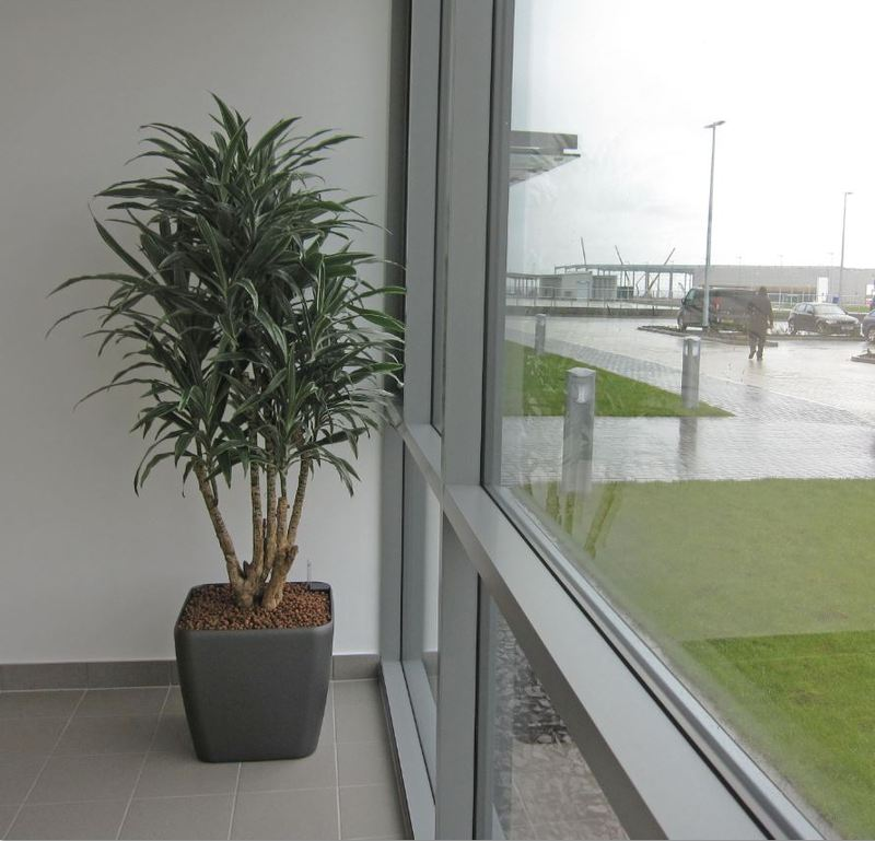 Charcoal Grey Square planter with a Dracaena Dermnensis branched