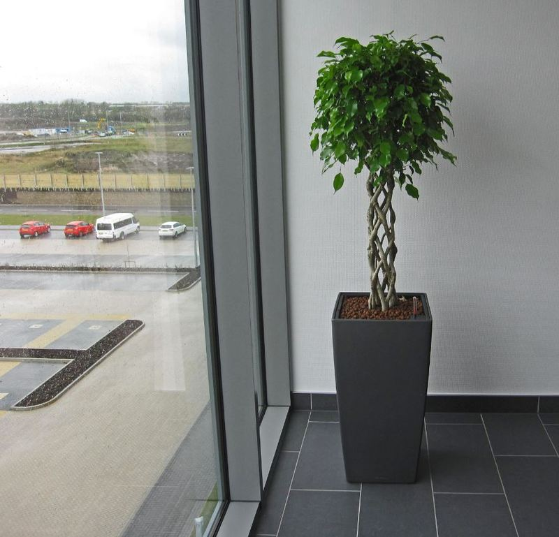 Ficus Open Braided Stem are ideal plants for high profile office Reception areas
