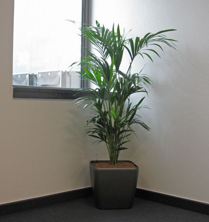 Kentia Palm plant display filling out a corner in Bolton BL5 Meeting Room