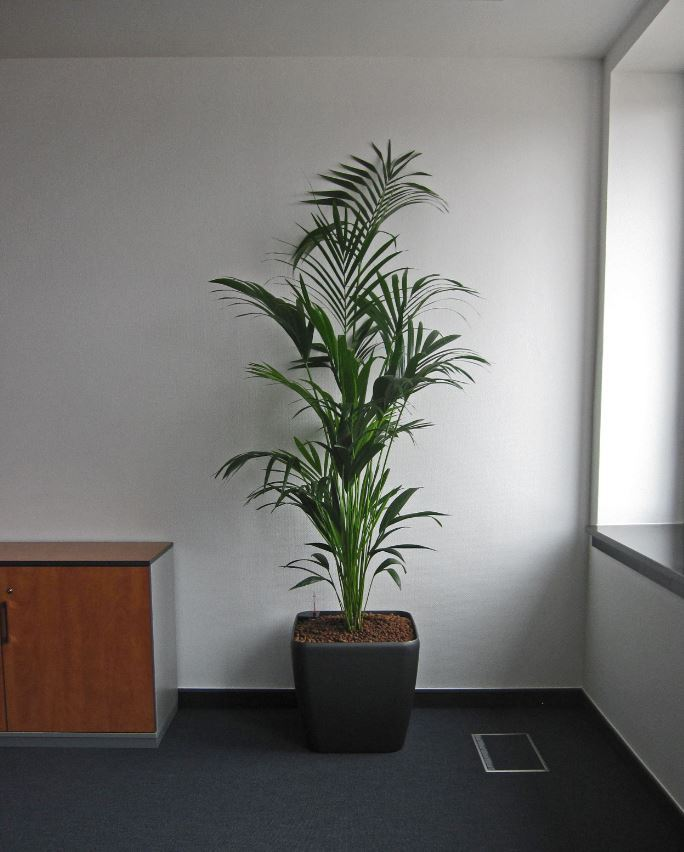 Tall bushy Kentia Palm plant display against a white office wall next to a low cabinet