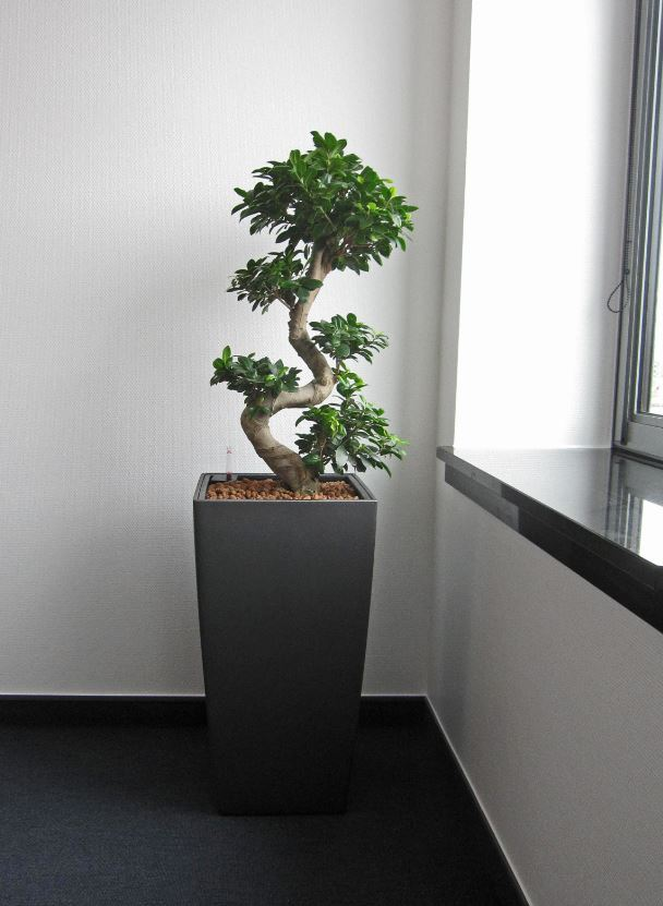 Ficus Microcarpa Ginseng Bonsail plants are ideal for high profile areas such as Directors Offices