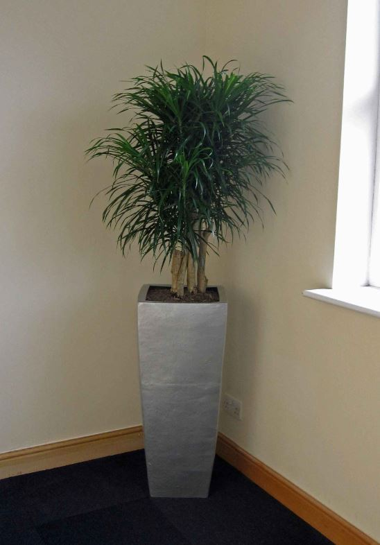 Tall square silver Dracaena Marginarta Plant Display in the corner of these Nuneaton offices