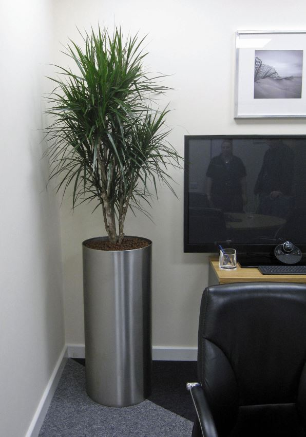Directors office has a tall circular stainless steel display with a Dracaena Marginarta plant