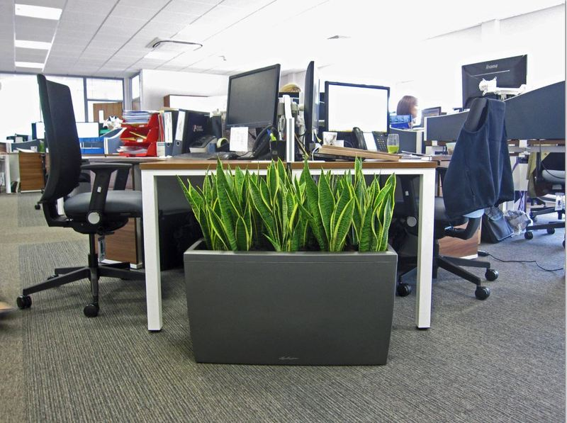 Colourful, bright & beautiful Sansiveria plants add Pazaz to this open plan Worcester office