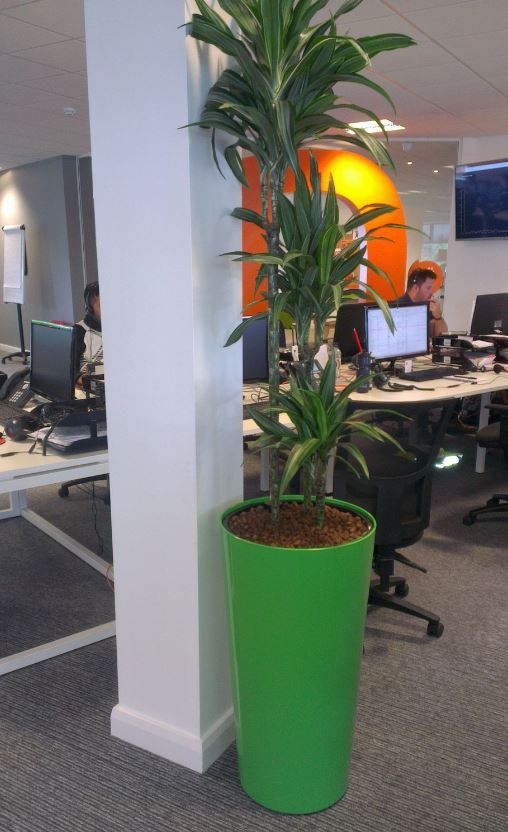 Tall circular Funky Green displays with Dracaena Ulysses in Nottingham Town centre