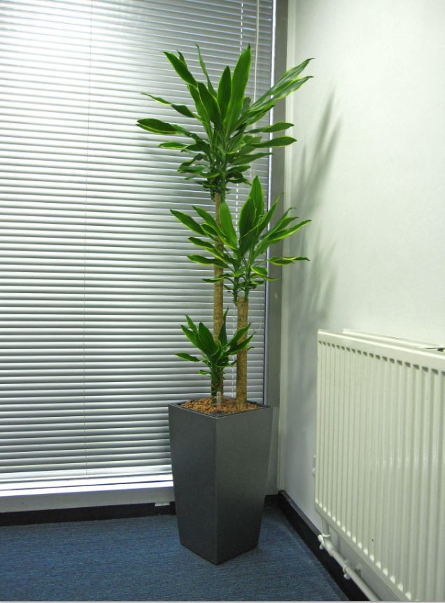 Variegated Dracaena Gold Coast plant for office meeting room in West Bromwich