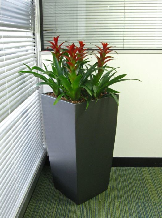 Flowering Red Guzzmania plants brighten up this West Bromwich office Reception