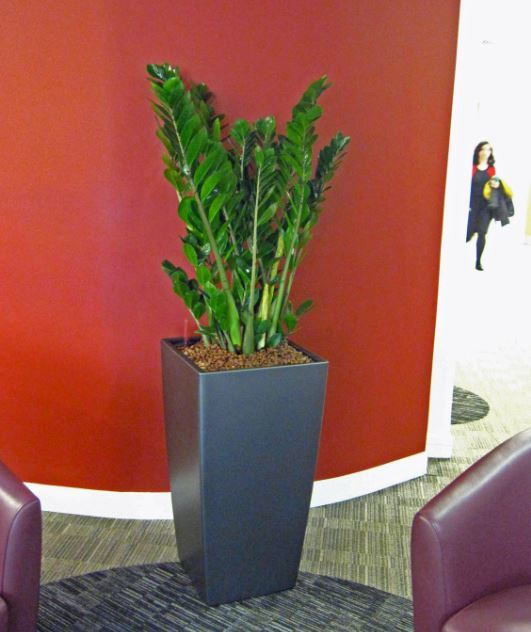 Bushy green Zamiifolia plants improve Colmore Row, Birmingham office Reception