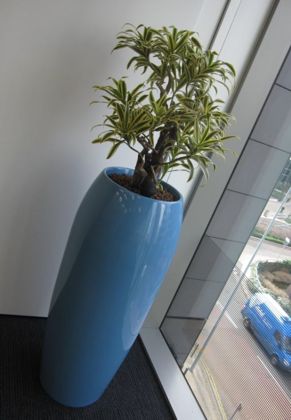 Dracaena Song of India plant in the corner of Birmingham office Meeting Room