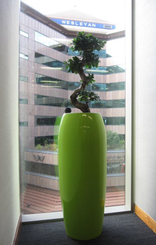 Ficus Ginseng Bonsai plant with great views of the The Wesleyan Birmingham office