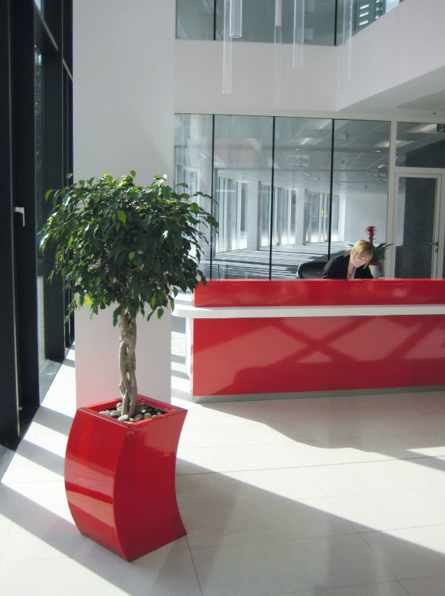West MIdlands office Reception has a striking braided stem Ficus plant