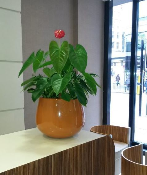 Barcelona display with flowering Anthurium plant for this Leicetser office Reception desk