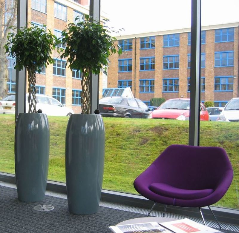 A pair of Ficus open Braided trees looks superb in this office Reception