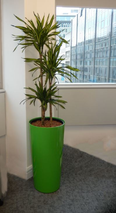 Dracaena Rikki a colourful plant & container for these serviced office in Derby