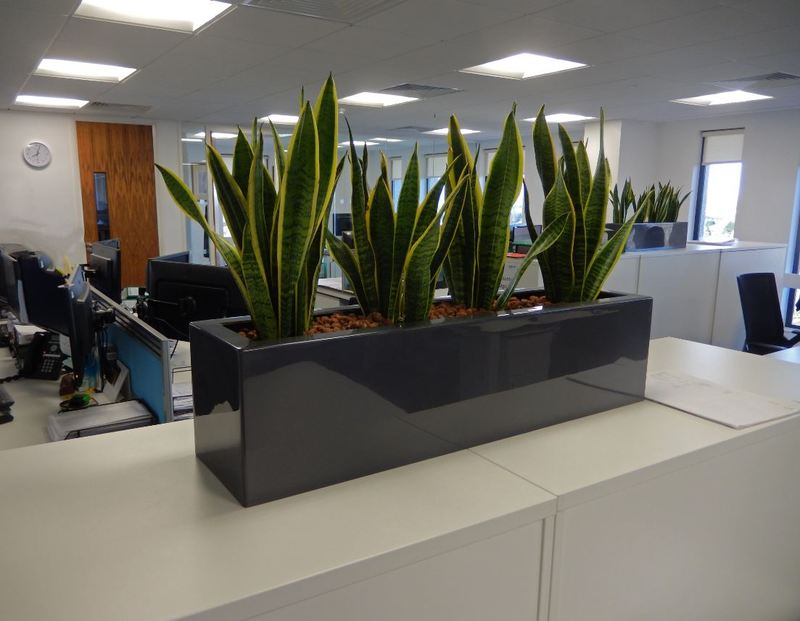 Rectangular Cabinet top displays with Sanseveria plants for Coventry offices