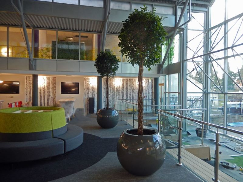 Two matching Ficus Nitida plants in this Derby office atrium
