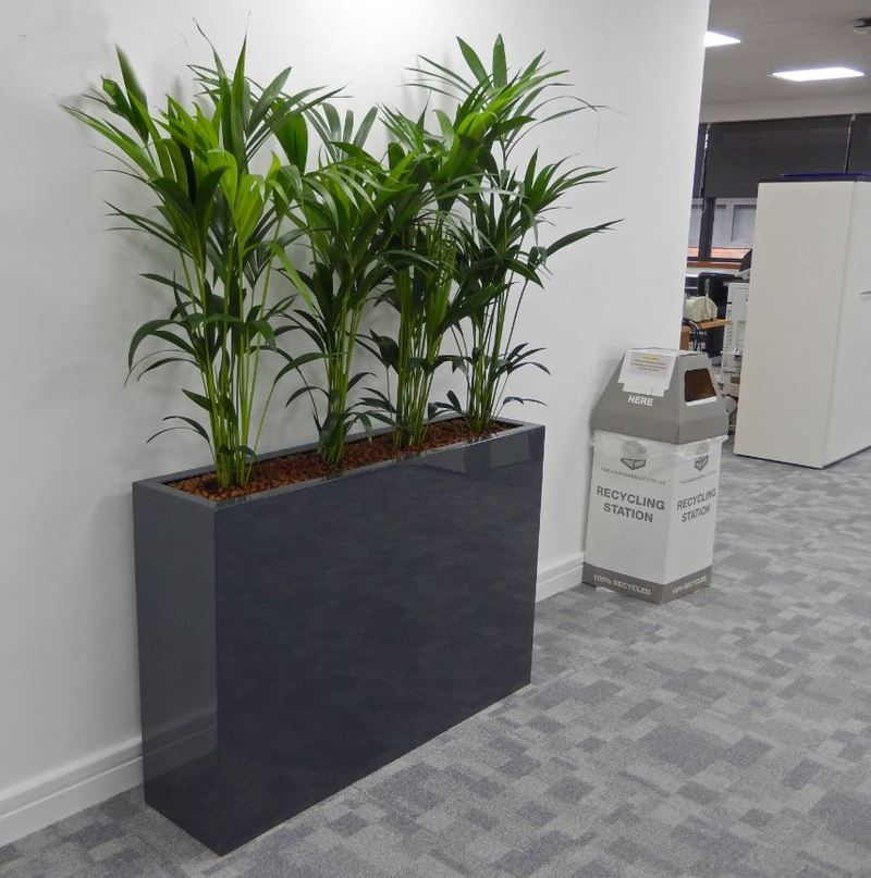 Tall rectangular Barrier Plant Display with Kentia Palms softens the walkway of these Derby offices