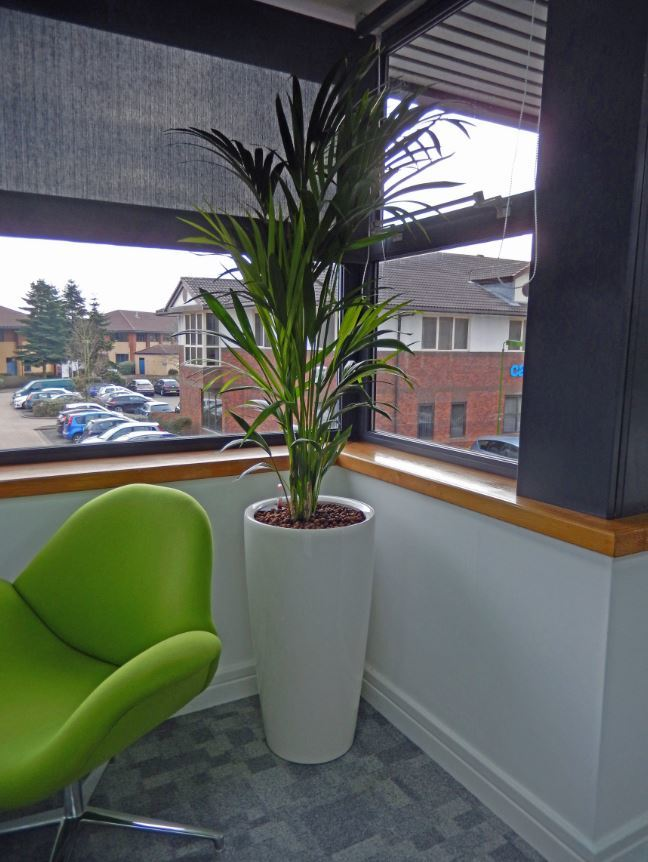 Bushy Kentia Palm plant fills the corner of this Derby office