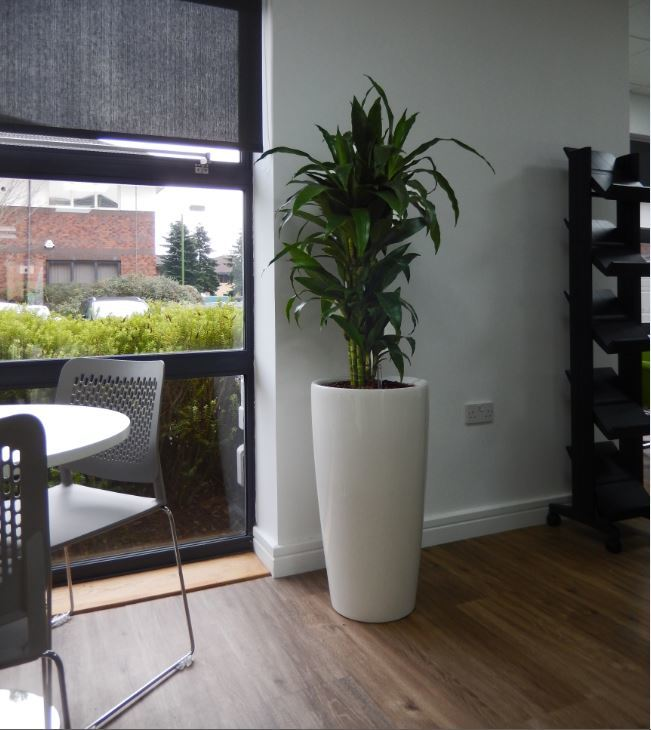 White Tall Circular plant pot contrasts nicely with green leaves in this office Reception area