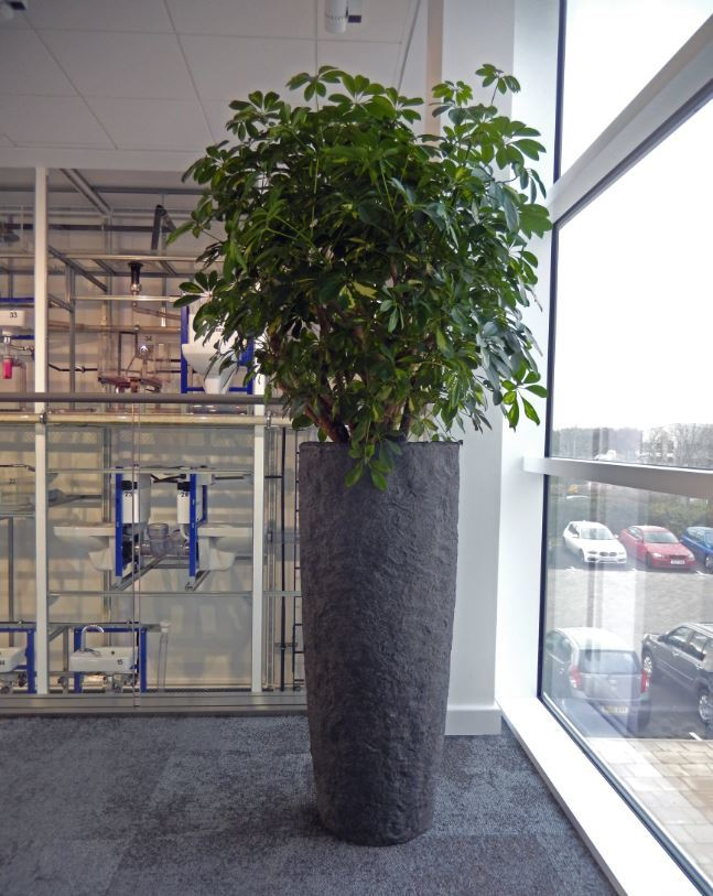 Tall Rocky Plant Display & Schefflera Gold Capella in the window of this first floor office landing