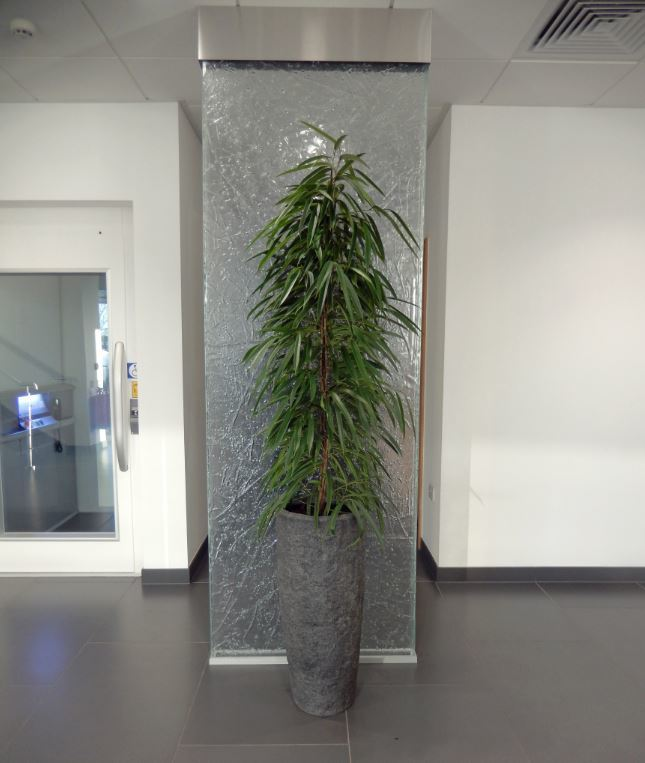 Rocky Tall Plant Displays with a Ficus Alii on a glass feature wall in a Derby office reception
