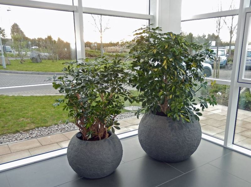 Large Circular Rocky office Plant Displays with Schefflera Gold Capella bring the outside in