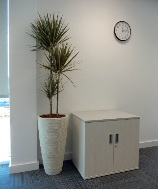Curved White Vase with Dracaena Marginarta Bicolour plant for this Cannock Sales office
