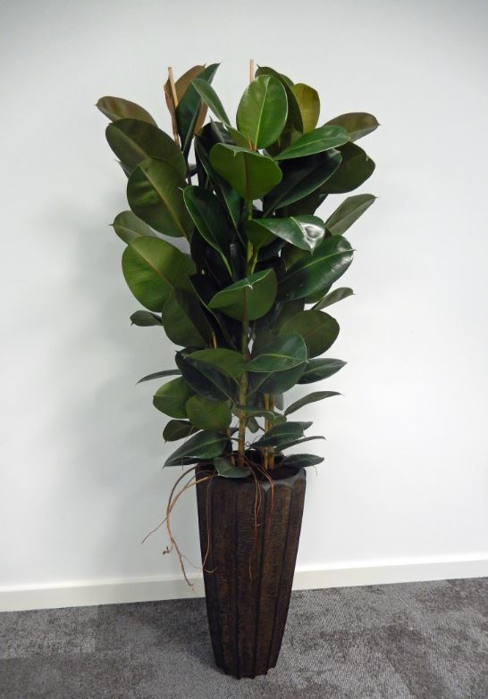 Tall Firewood Plant Display with a bushy Ficus Elastica gives a natural green feel to these offices