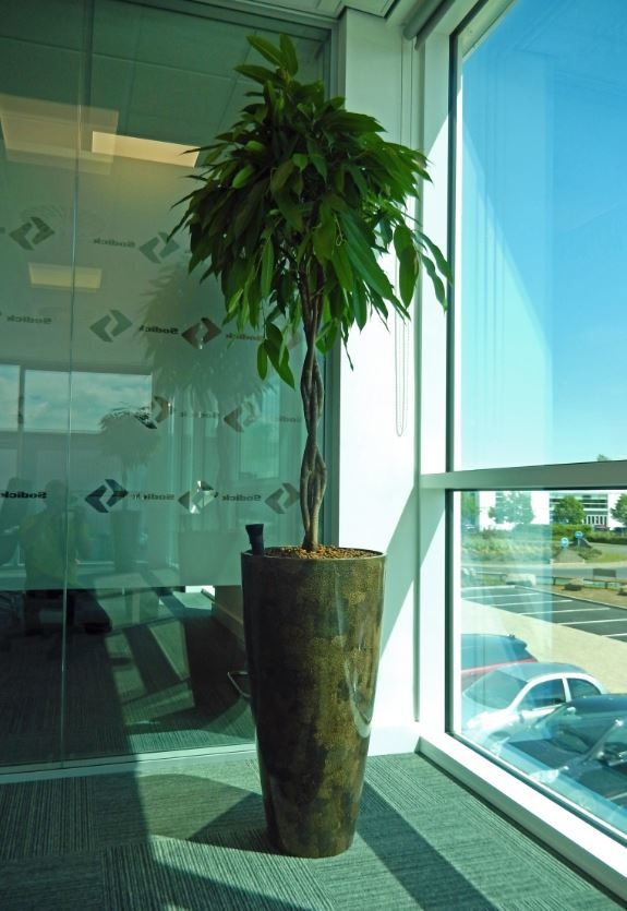 Vita eggshell Brown pot with a Ficus Alii plant sunbathes in this Midlands office Boardroom