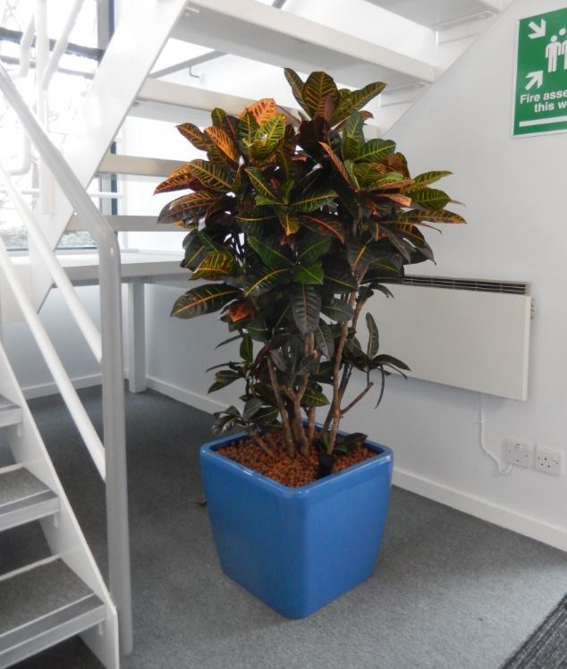 Beautiful Croton plant in the Reception of this Midlands office