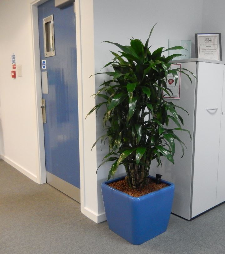Low square display next to office cabinet with a Dracaena Janet Craig Branched plant