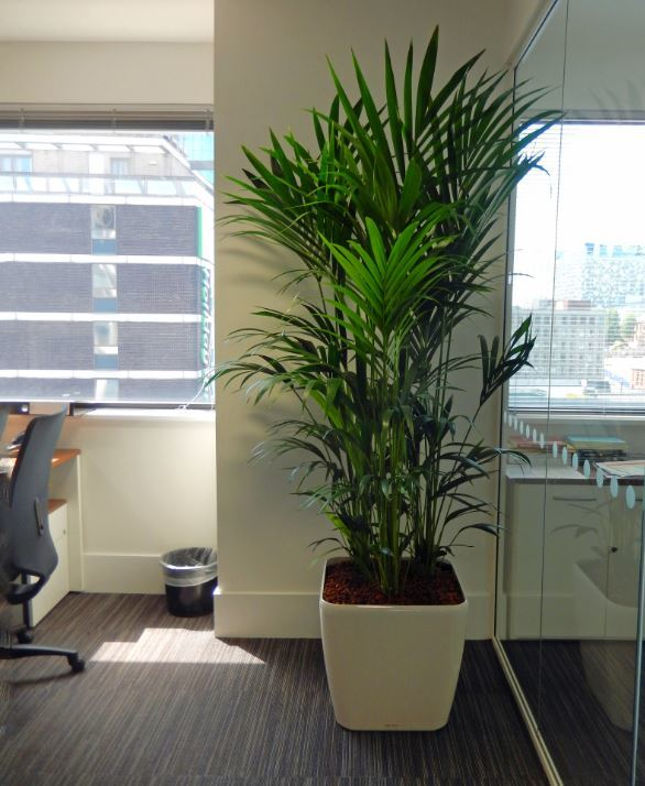 Large Kentia Palm plants brings a healthy green jungle feel to this West Midlands office