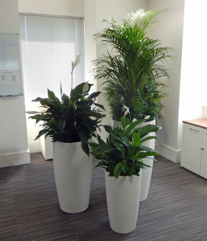 Group of three planrt displays make a feature of an empty corner in this West Midlands office
