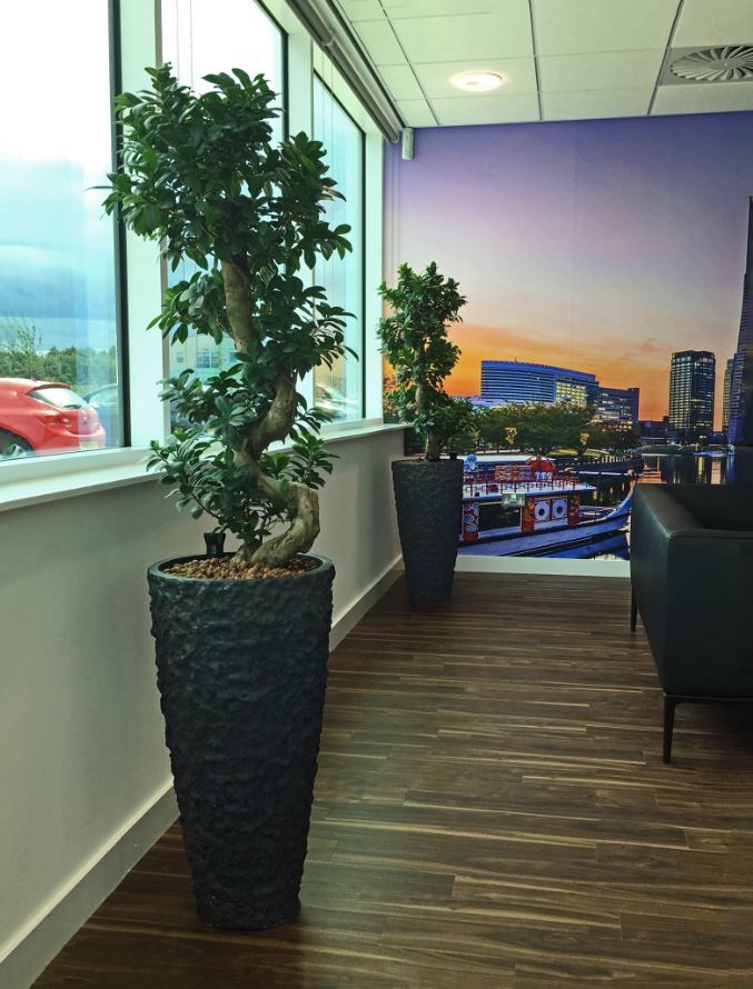 Ficus Ginseng Bonsai plants in Lava containers for this Midlands Office Reception