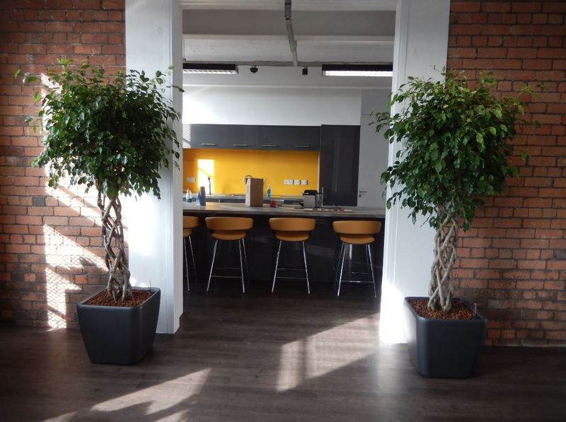 This West Midlands Office Breakout area has stunning Ficus Open Braided stem plants