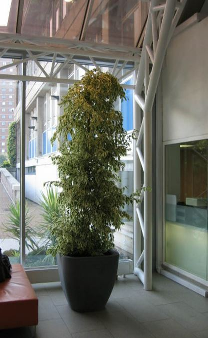 Northampton Ficus Plants in open plan offices