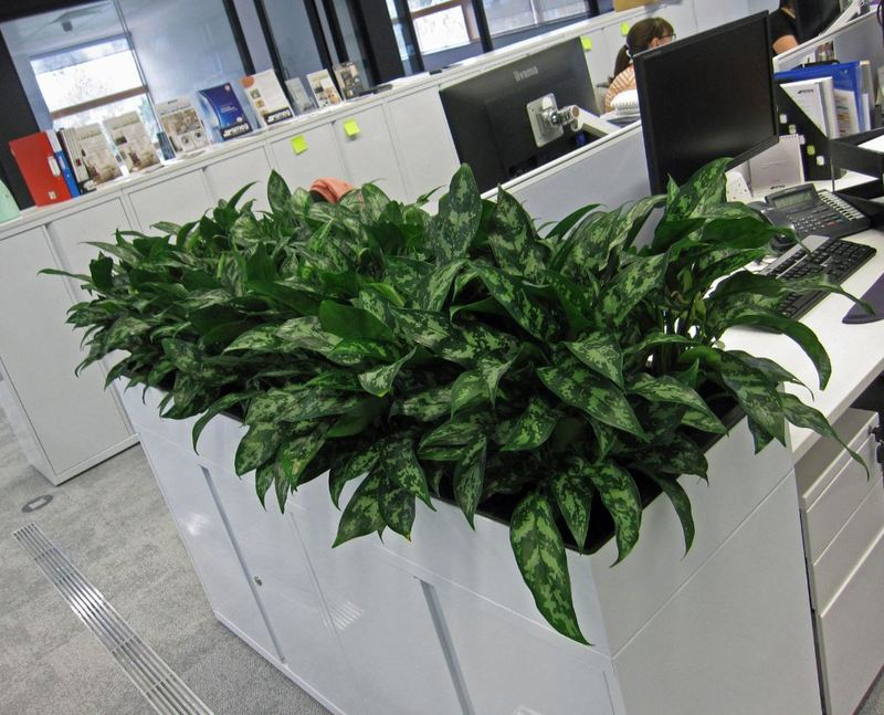 Close up of special cabinet top planters planted with Aglaonema Maria living tropical plants