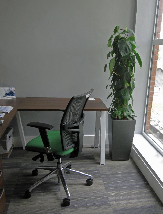 A leafy green Philodendron Sweetheart plant, a perfect fit for the corner of offices