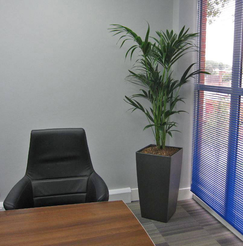 A lovely leafy green Kentia Palm plant filling the corner of the office