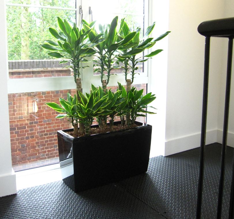 Rectangular display with colourful Dracaena Gold Coast plants on the stairs landing