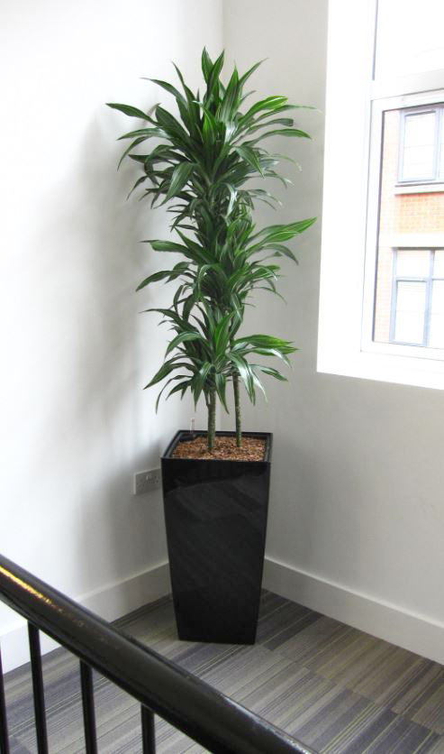 Stairs landing with  variegated Dracaena Ulyssess