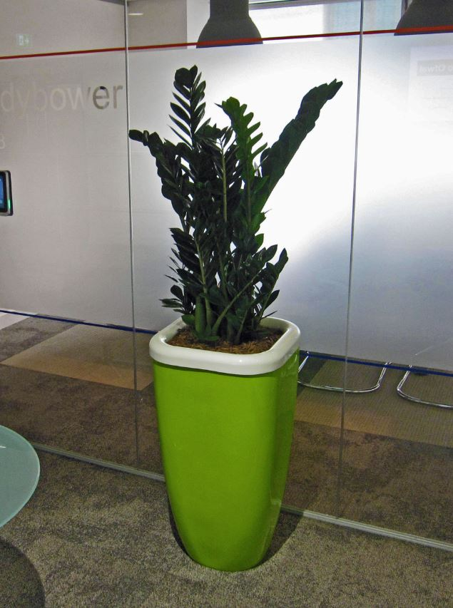 Tall square green and white rimmed display with a Zamiifolia plant