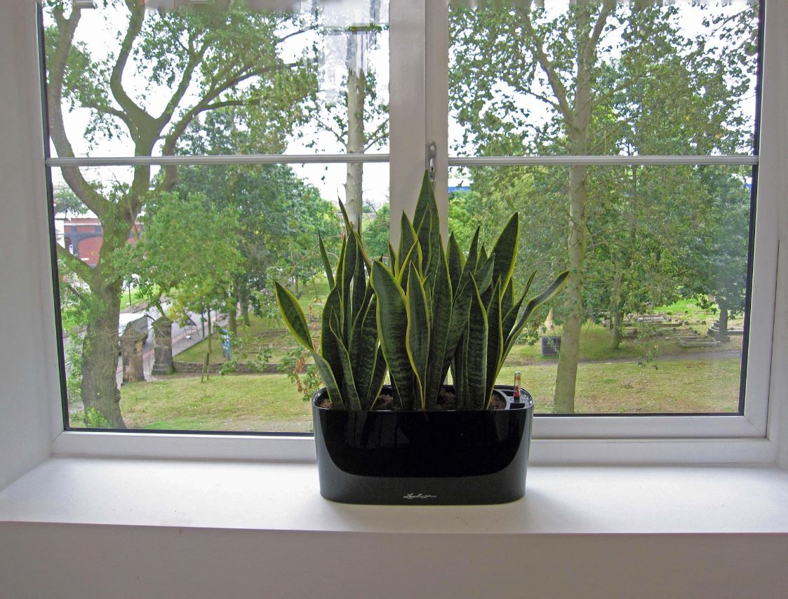 Windowsill display planted with sansiveria laurentii with views over Birminghams Jewellery quarter