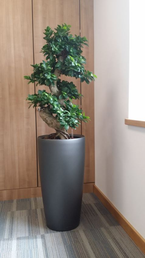 office bonsai. Ficus Bonsai Tree Located In The Corner Of A Directors Office Colehill West Midlands