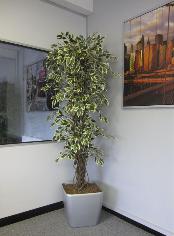 Ficus Liana Multi Wooden Stemmed Artificial Plant In Leamington Spa Office