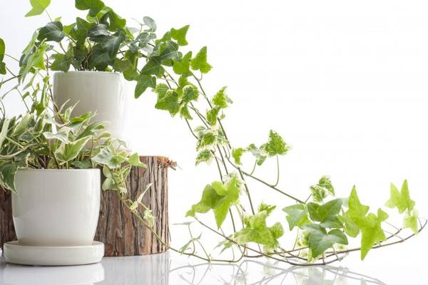 Ivy Plants Against White Background