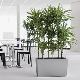 Silver Rectangular Office Divider With Dracaena Ulysses Plants