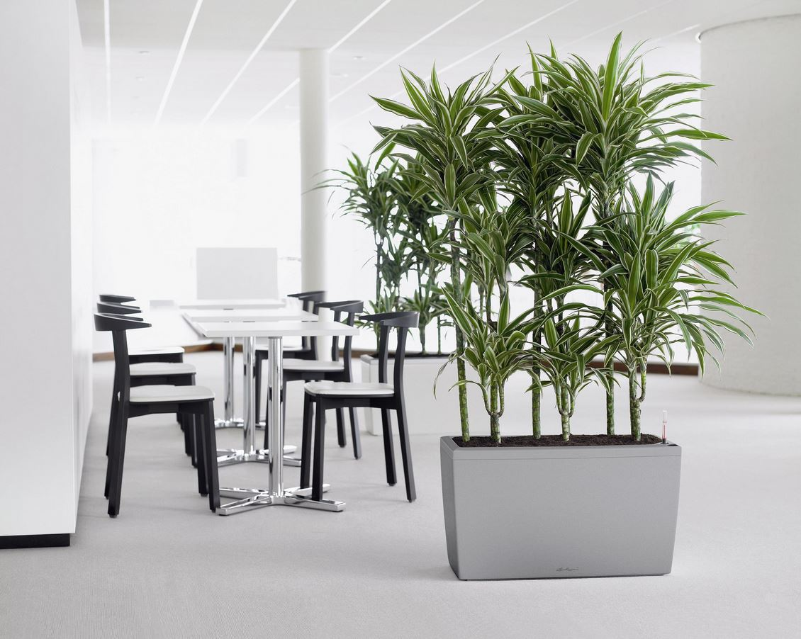 dracaena office plant