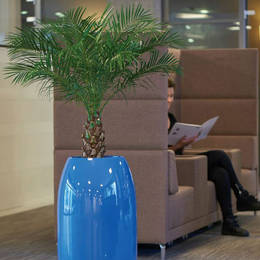 Phoenix Palm Plant In Office Rest Area