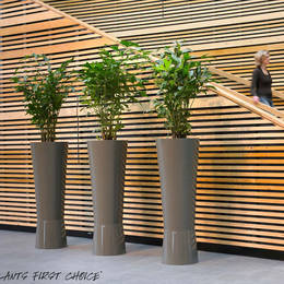 Caryota Palm Displays
